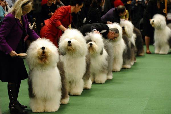 Exposição de cães em Nova York