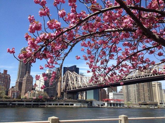 Festival de cerejeiras em Nova York